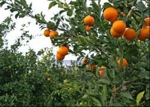 arance_sullalbero